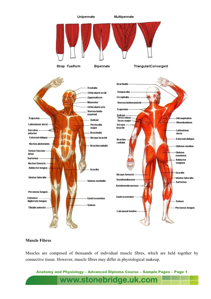 muscle fibres muscles are composed of thousands