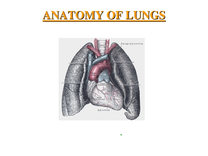 anatomy of lungs anatomy of lungs